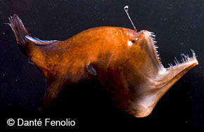 Image Of A Female Deep Sea Anglerfish