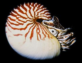 Chambered nautilus swimming in