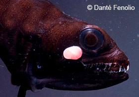 dragonfish closeup 2 se48 deep sea dragonfish deep sea creatures on sea and sky