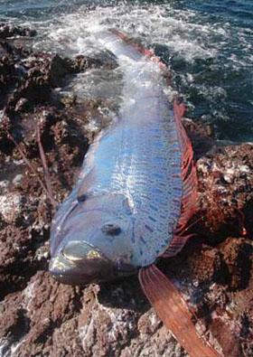 Oarfish stranded on a rocky  Oar Fish Mouth