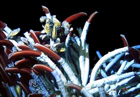 Closeup photo of giant tube worms