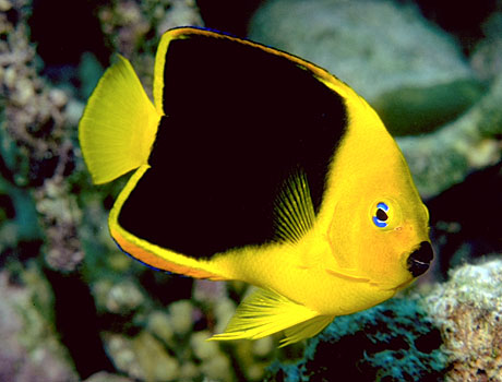Rock Beauty Angelfish: Sea Gallery on Sea and Sky